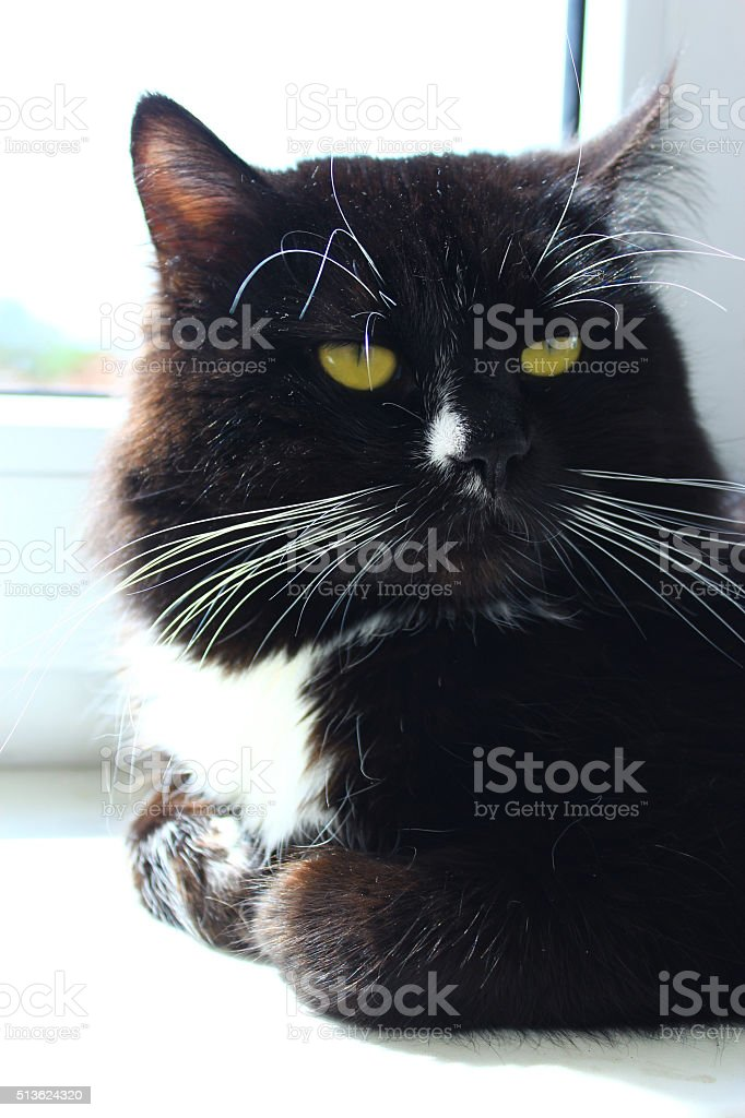 Cat lays at the window stock photo