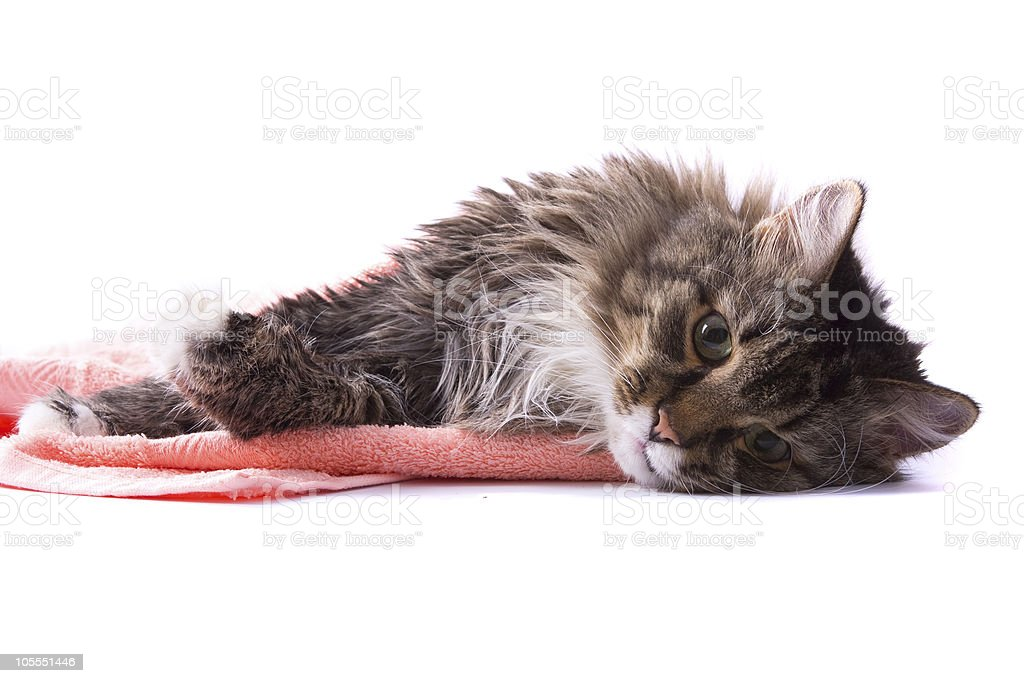 Cat licking its fur and lying on bath towel royalty-free stock photo