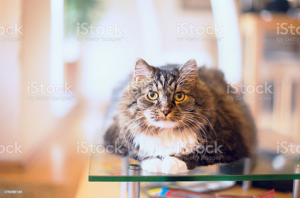 cat lie and look at camera over home background, horizontal stock photo