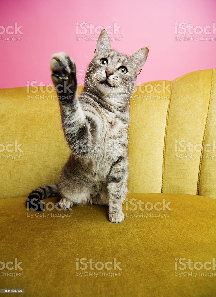 Cat Lifting Paw royalty-free stock photo
