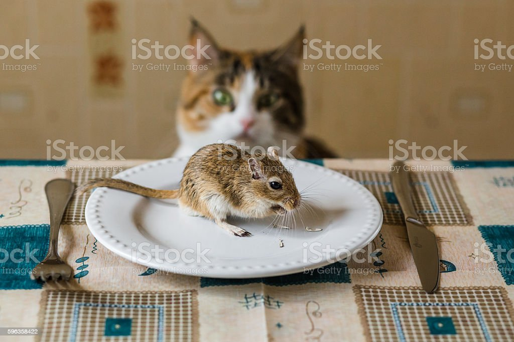 Cat lookin to little gerbil mouse on the table. Concept stock photo