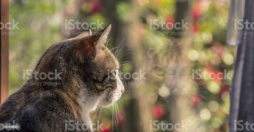 Cat looking at a window stock photo