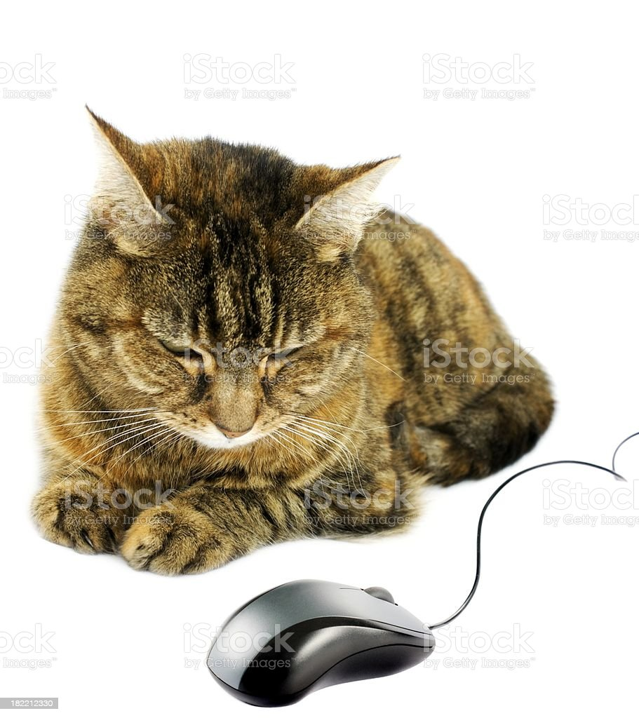 cat looking at pc mouse isolated on white stock photo