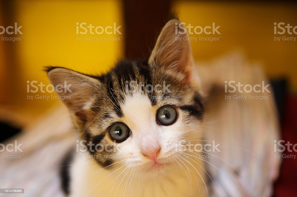 Cat looking at the camera with pleading wide eyes royalty-free stock photo