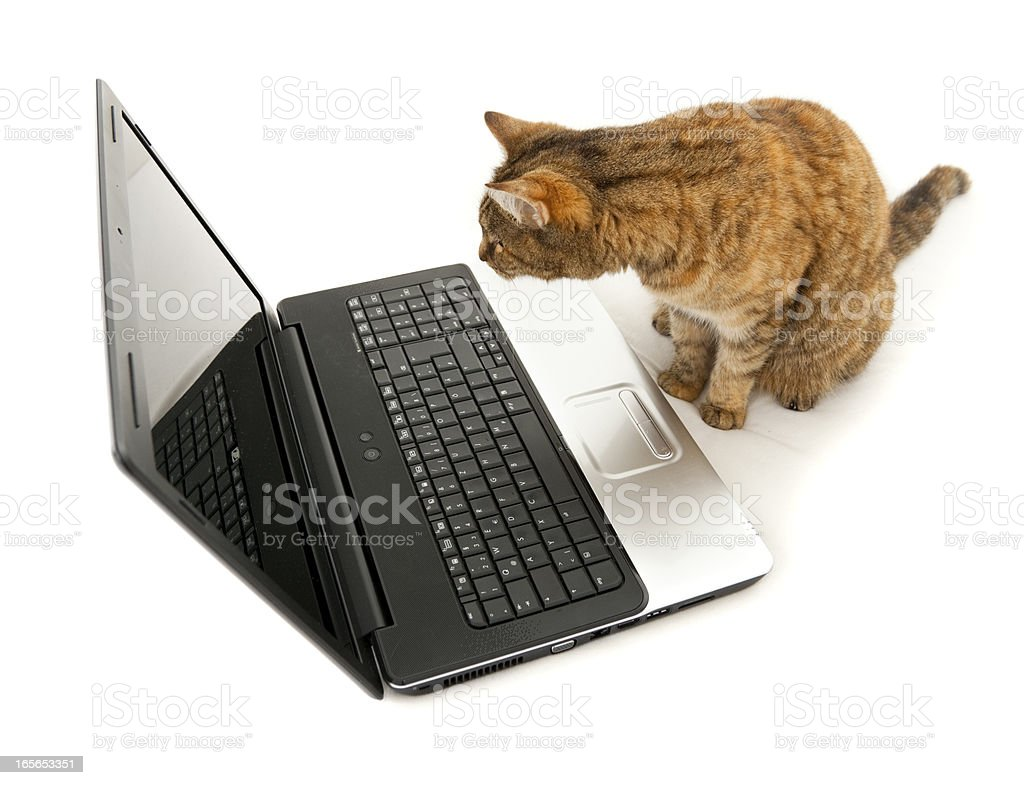 Cat looking in a laptop screen - browsing the internet royalty-free stock photo
