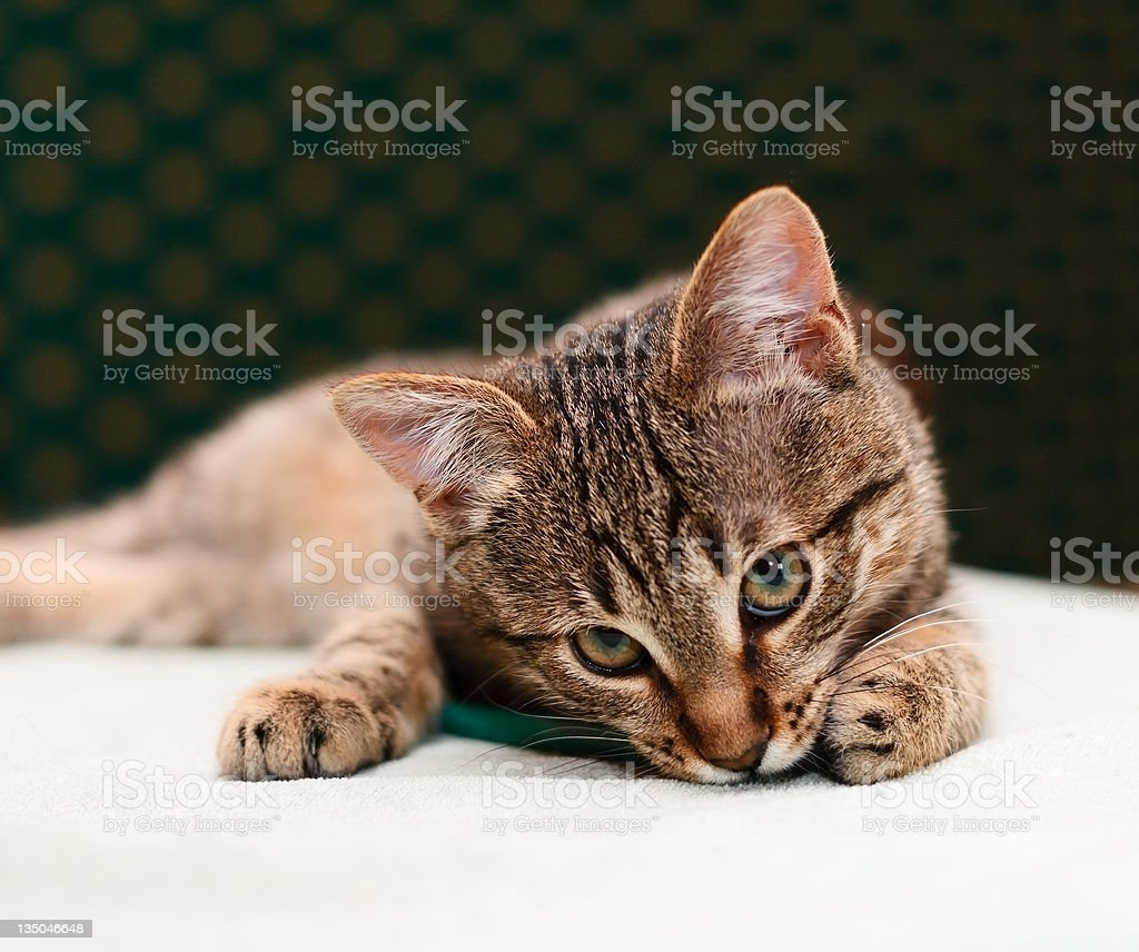 Cat looking into camera royalty-free stock photo