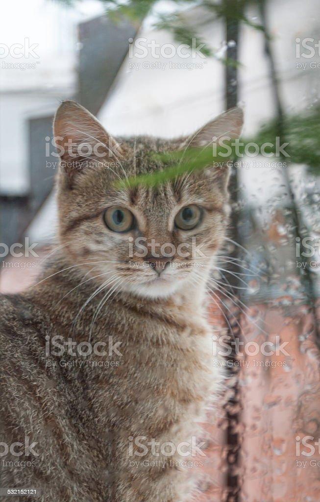 Gato olhando para fora da janela na chuva foto royalty-free