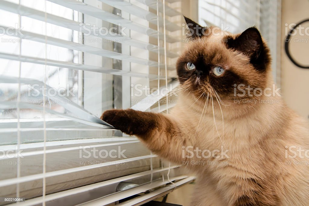 Cat looking outside through window blinds stock photo