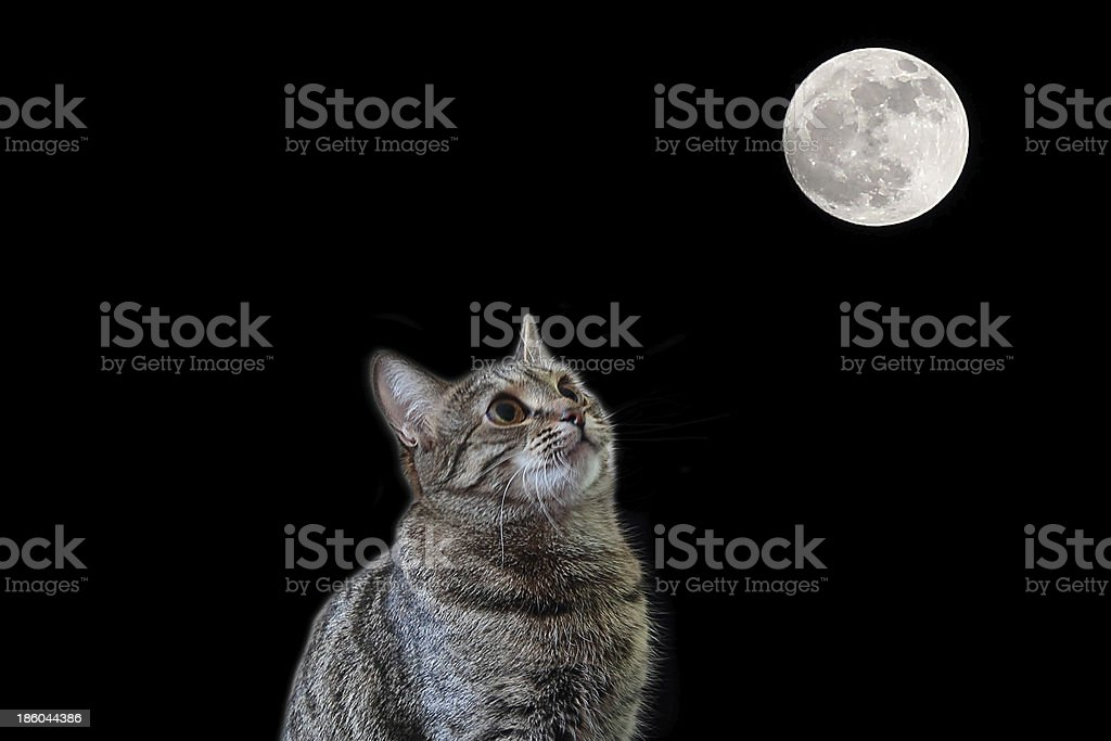 Cat looking to the Moon stock photo