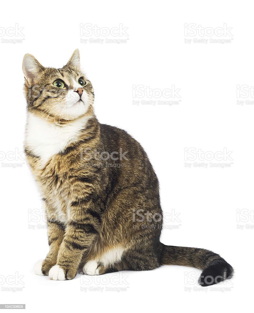 Cat looking up. Copy space. Isolated stock photo