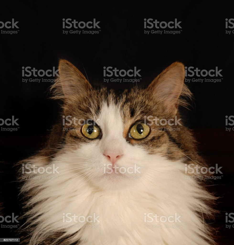 Cat Looking Up Frontal View stock photo