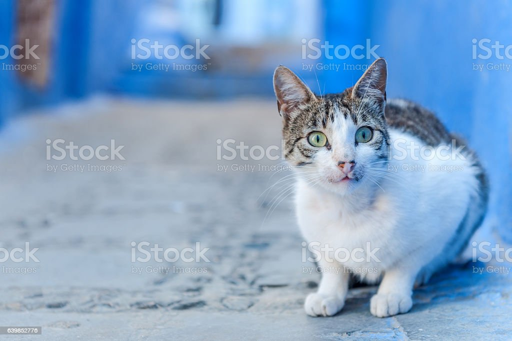 Cat looking up on the street  Chefchaouen, Morocco , North Africa stock photo