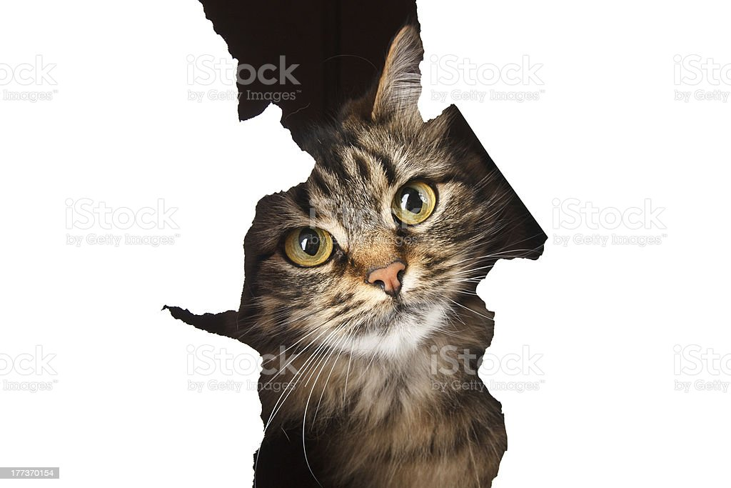 Cat looks out of a paper hole royalty-free stock photo