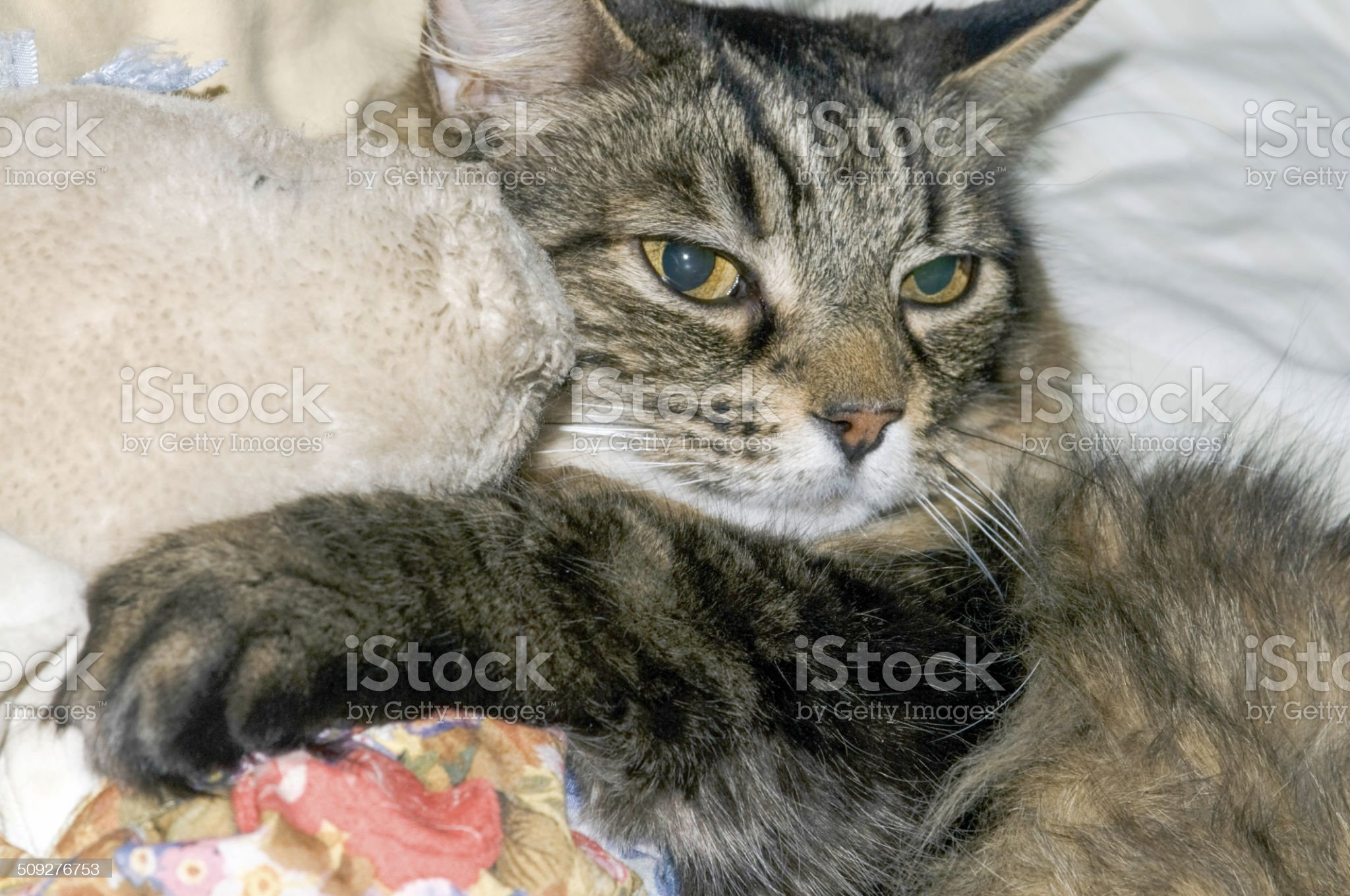 Cat lovingly holding a stuffed animal royalty-free stock photo