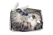 cat lying in box on white background