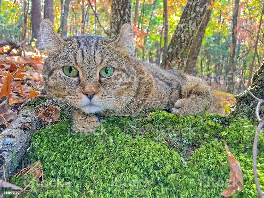 Cat lying on moss in autumn forest. stock photo