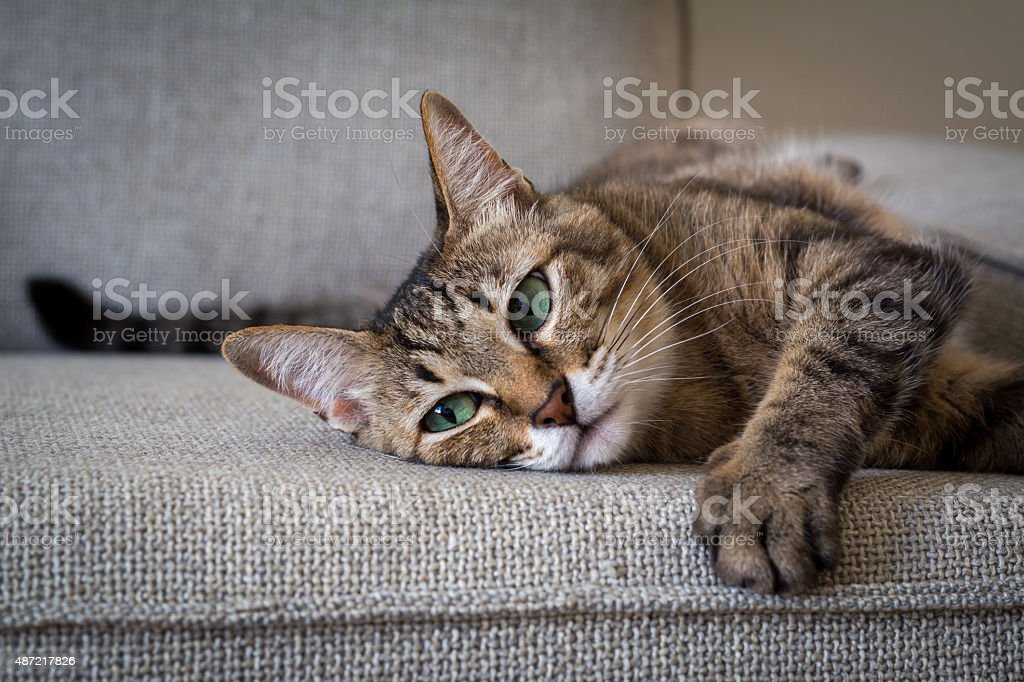 Cat Lying On Sofa stock photo