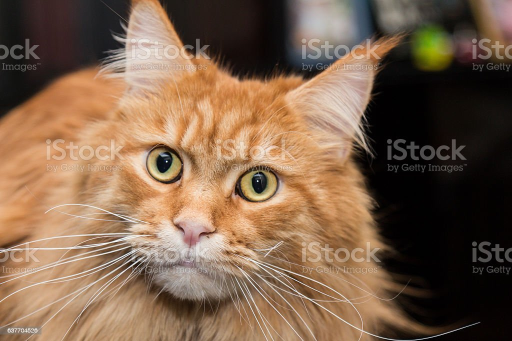 Cat Maine Coon close up on dark background stock photo