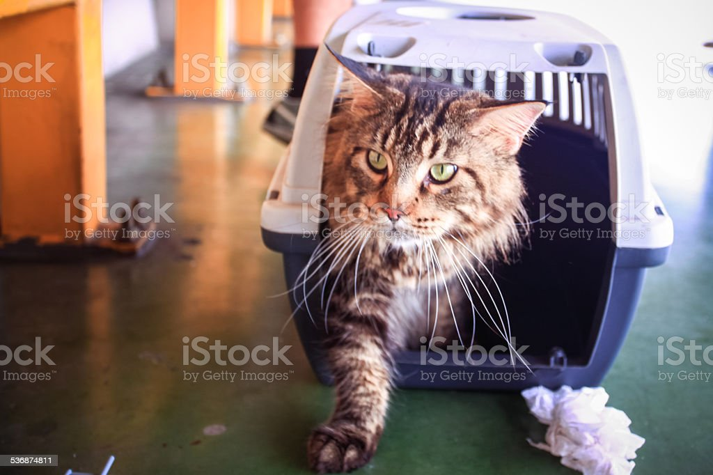 Cat Maine coon in a pet carrier stock photo