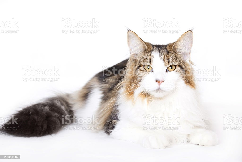 Cat, Maine Coon royalty-free stock photo