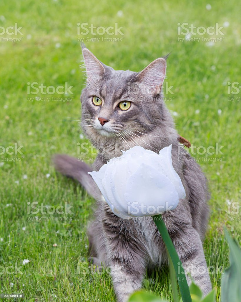 Cat Maine Coon stock photo