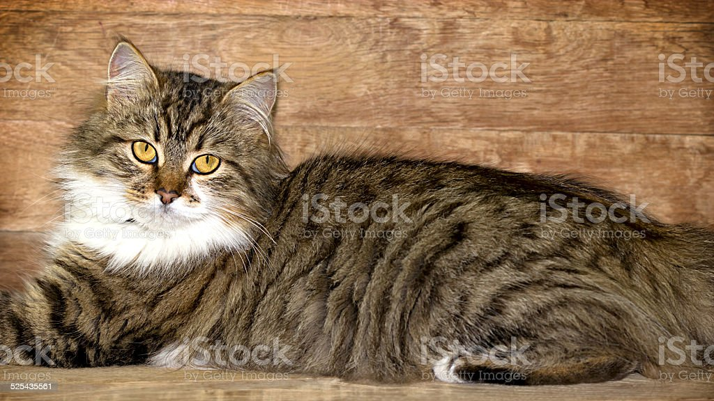 Cat - Maine Coon posing stock photo