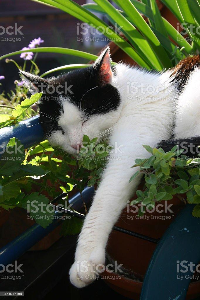 Cat mint stock photo