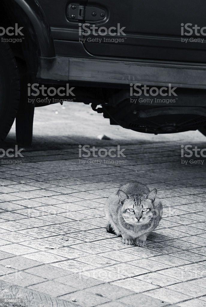 Cat al lado del coche foto de stock libre de derechos