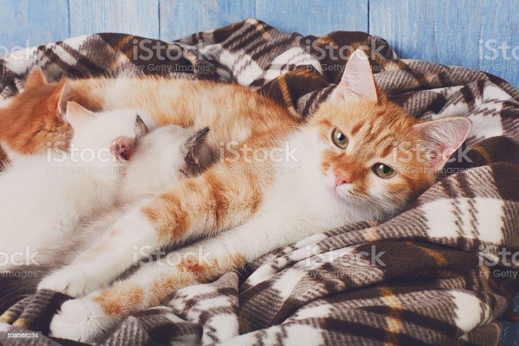 Cat nursing her little kittens at plaid blanket stock photo