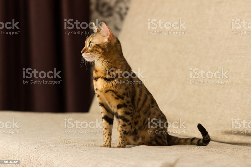 Cat of Bengali breed in a home setting sits on the couch stock photo
