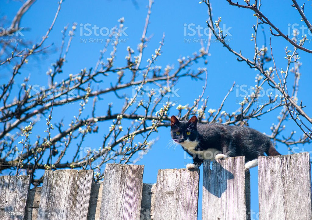 Cat on a fence. Neighbors cat is staring at photographer stock photo