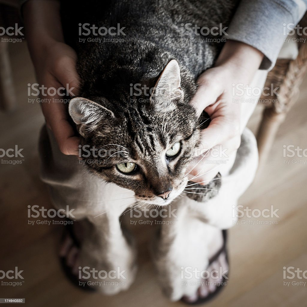 Cat on a Lap stock photo