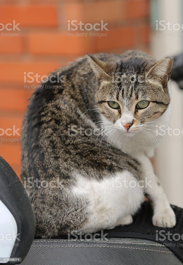 Cat on a Motorcycle stock photo
