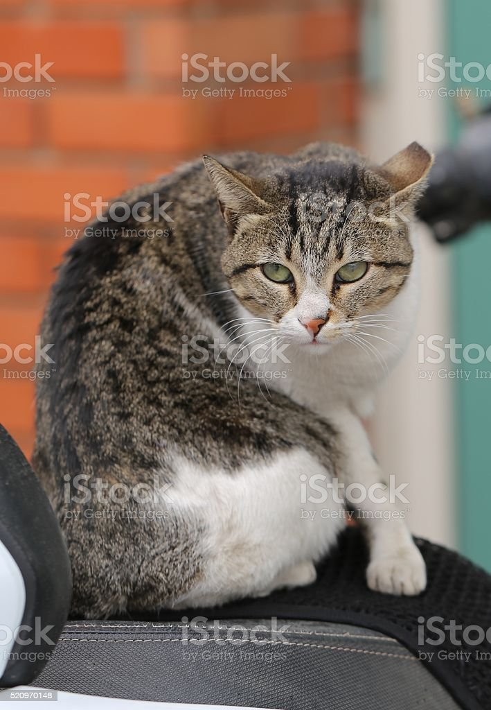 Cat on a Motorcycle Seat stock photo