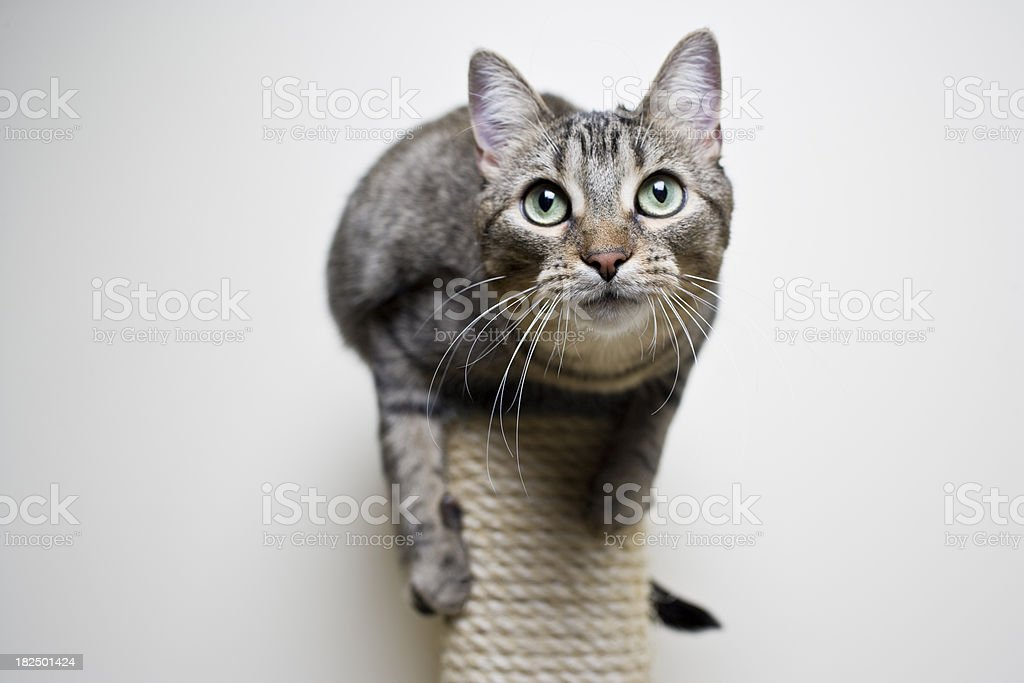 Cat on a Scratch Post stock photo