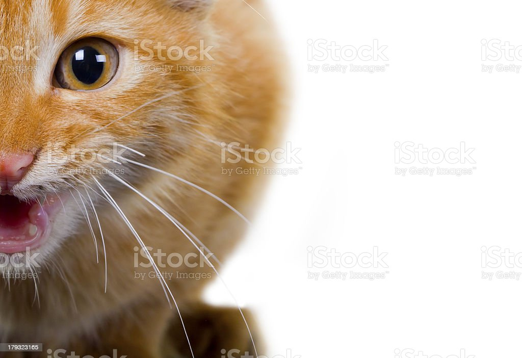 Cat on a white background royalty-free stock photo