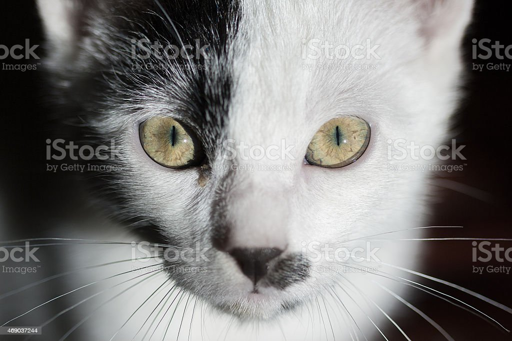 Gato em fundo preto. Gato olhando intensamente para a câmera foto royalty-free