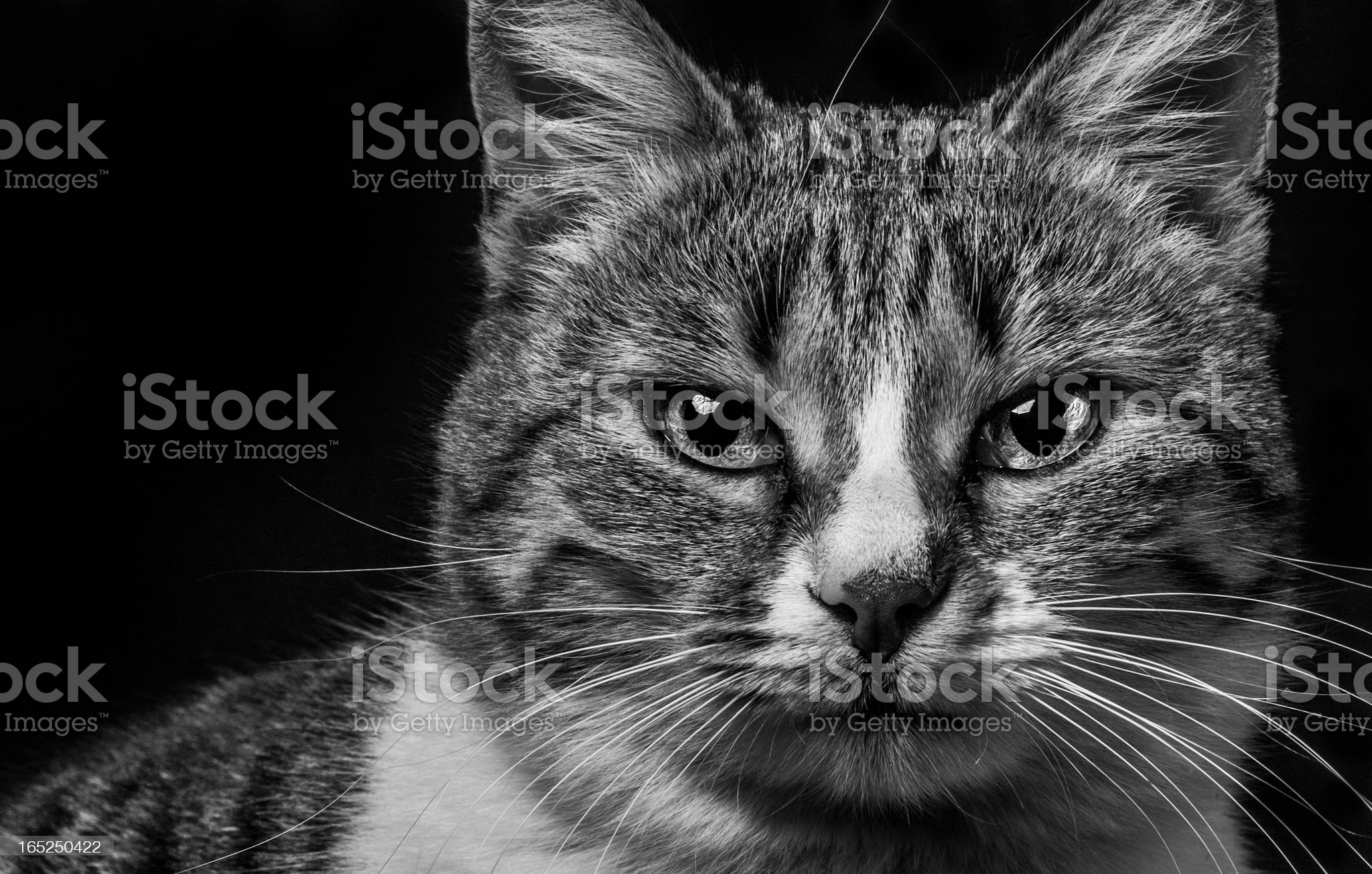 Cat on black background royalty-free stock photo