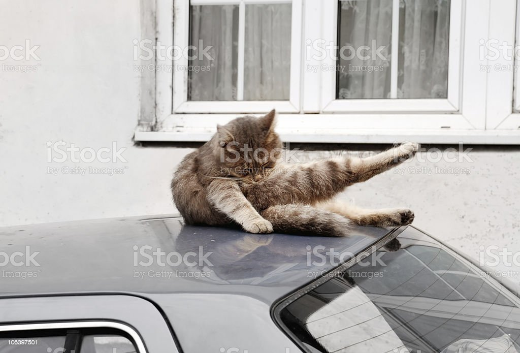 Cat on car roof royalty-free stock photo