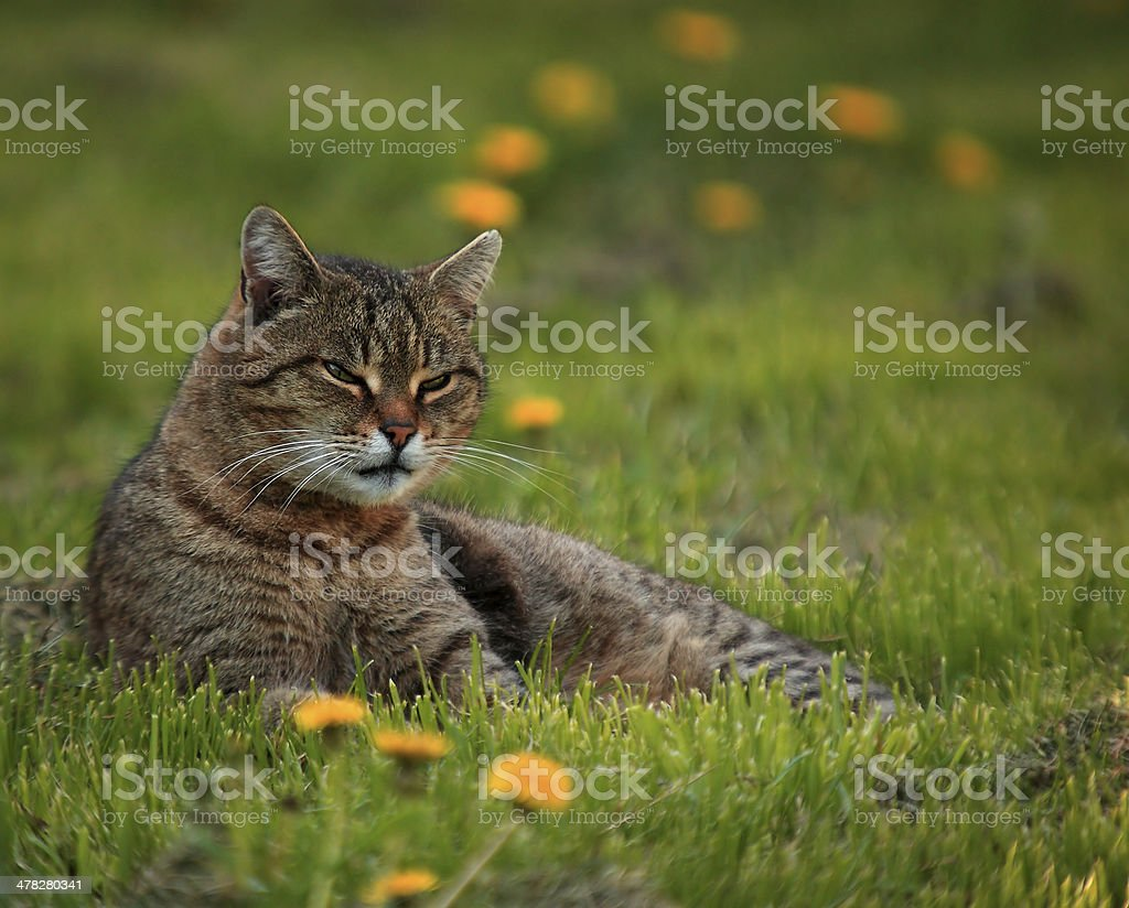 Cat on dandelion field royalty-free stock photo