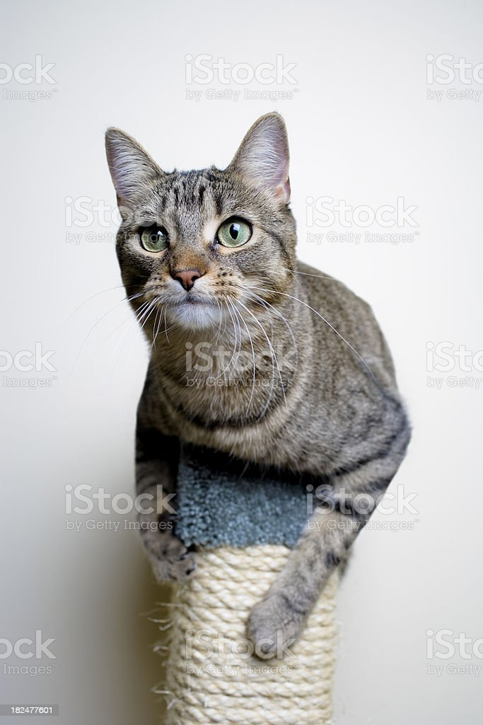 Cat on Scratching Post stock photo