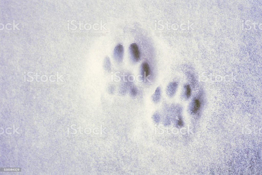 Cat Paw Prints in the the Snow stock photo