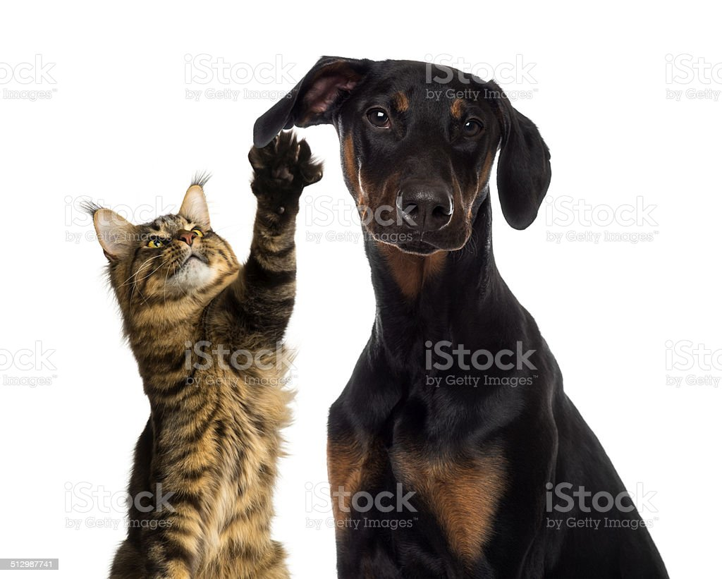 Cat pawing at a dog ear stock photo