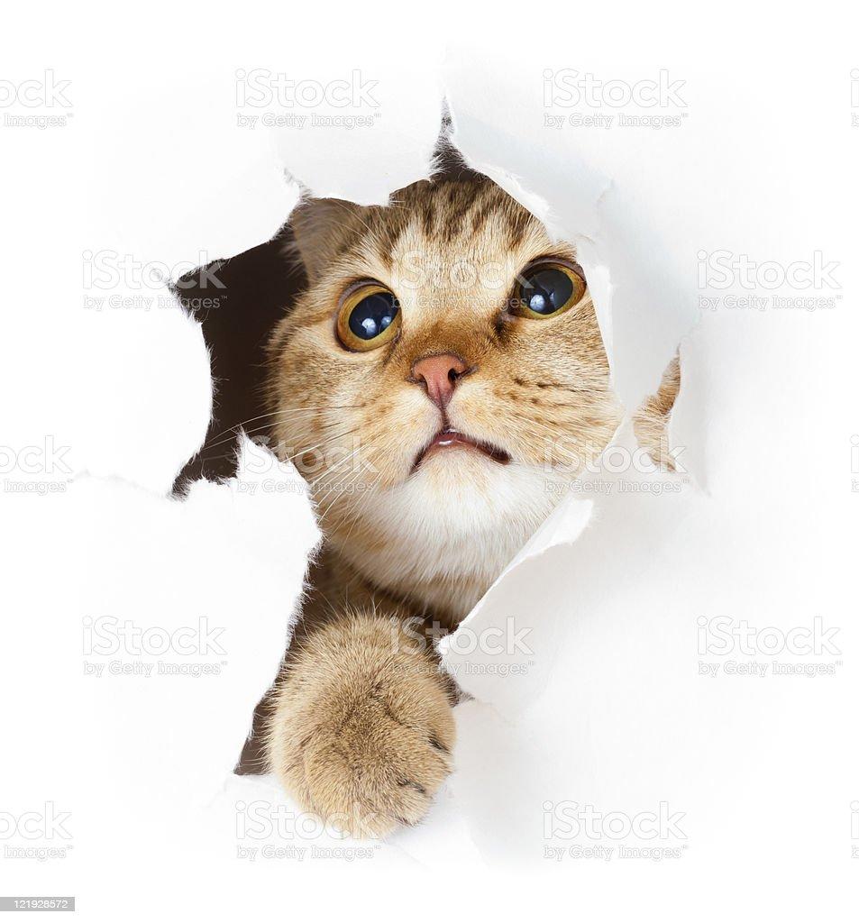 Cat peeking through torn paper