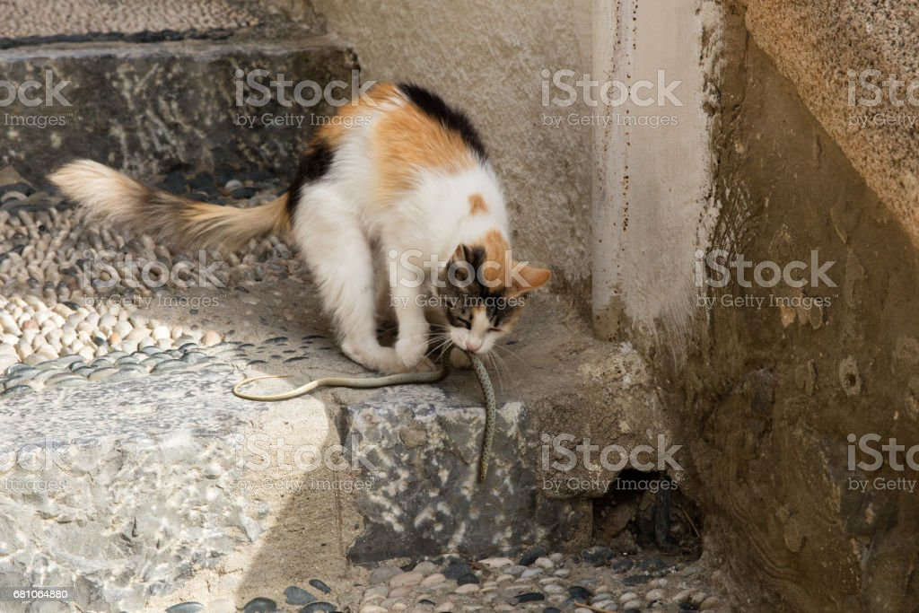 Cat play with snake stock photo
