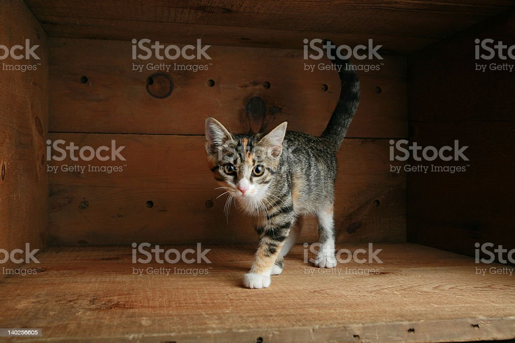 Cat playing in a box royalty-free stock photo