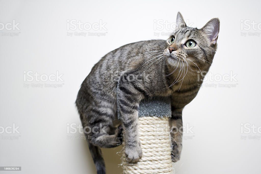Cat Playing royalty-free stock photo