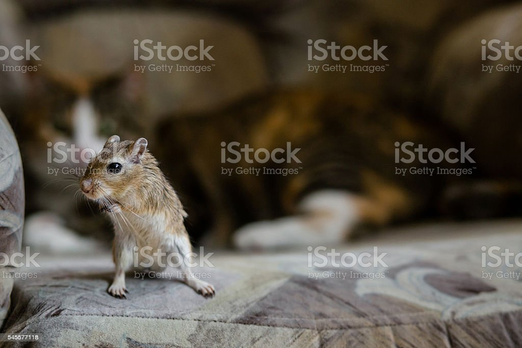 Cat playing with little gerbil mouse. Natural light. stock photo