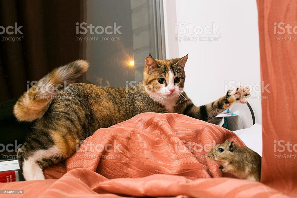 Cat playing with little gerbil mouse on red table stock photo