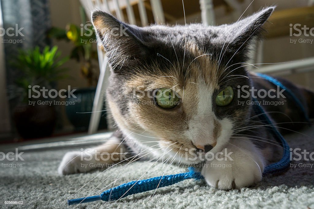 Cat Playing With Shoe String stock photo